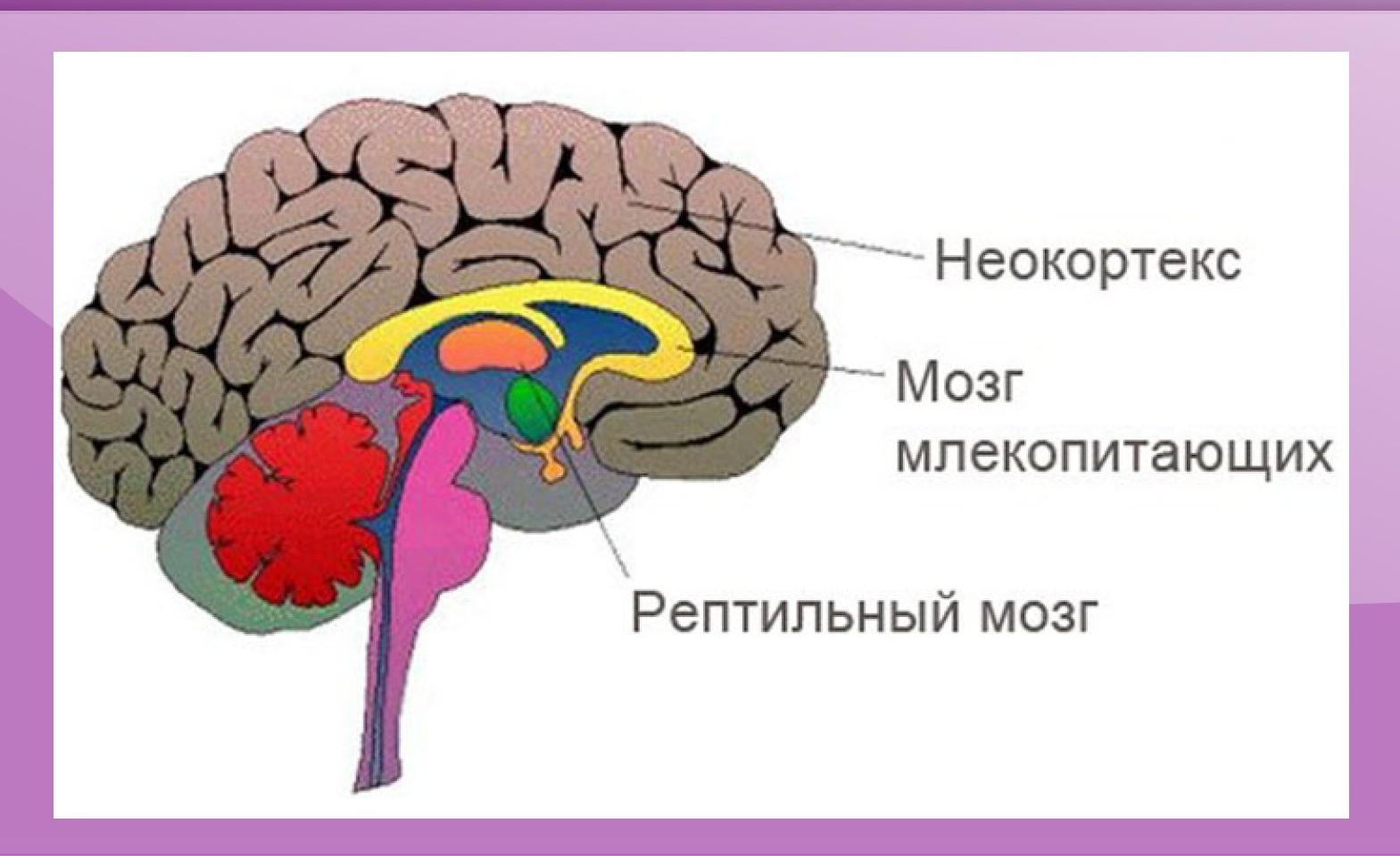 Неокортекс: что это такое