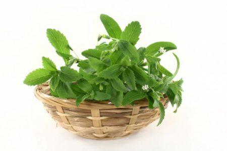 Польза и вред стевии для организма, способы применения травы