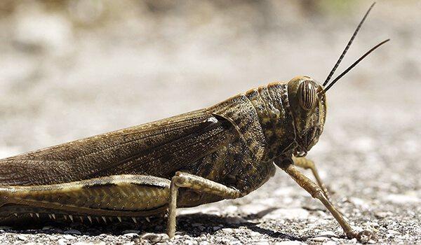 Пустынная саранча — википедия. что такое пустынная саранча