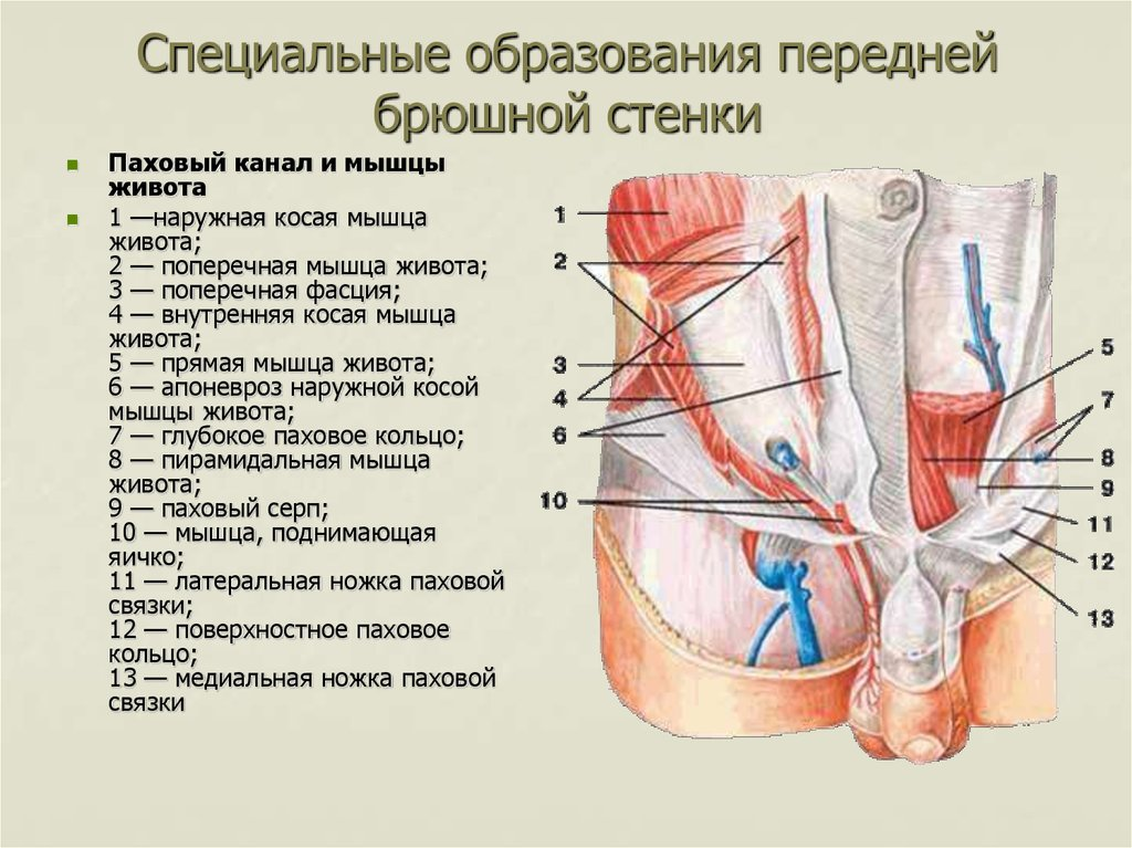 Виды апоневроза