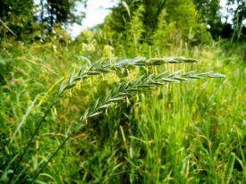 Пырей: описание растения и способы применения в лечении заболеваний