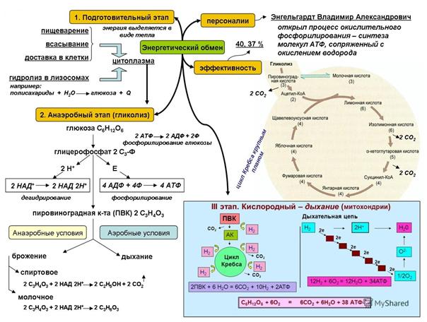 Что такое процесс метаболизма в организме и как его улучшить?