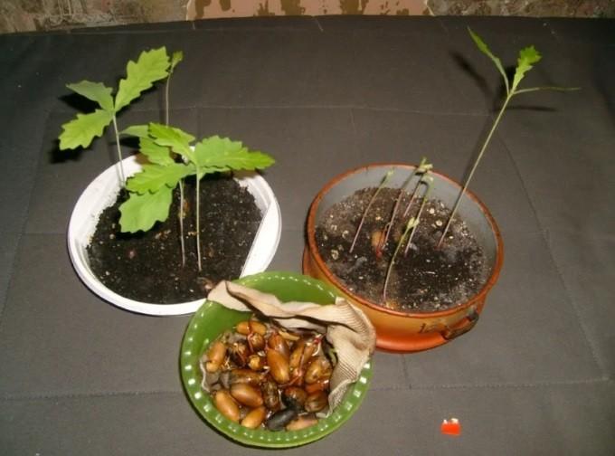 Дуб - выращивание, уход, вредители, полезные свойства + 101 фото