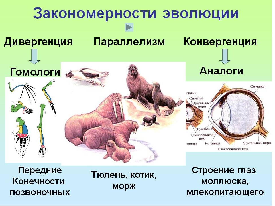 Конвергенция и дивергенция в биологии. суть и примеры явлений