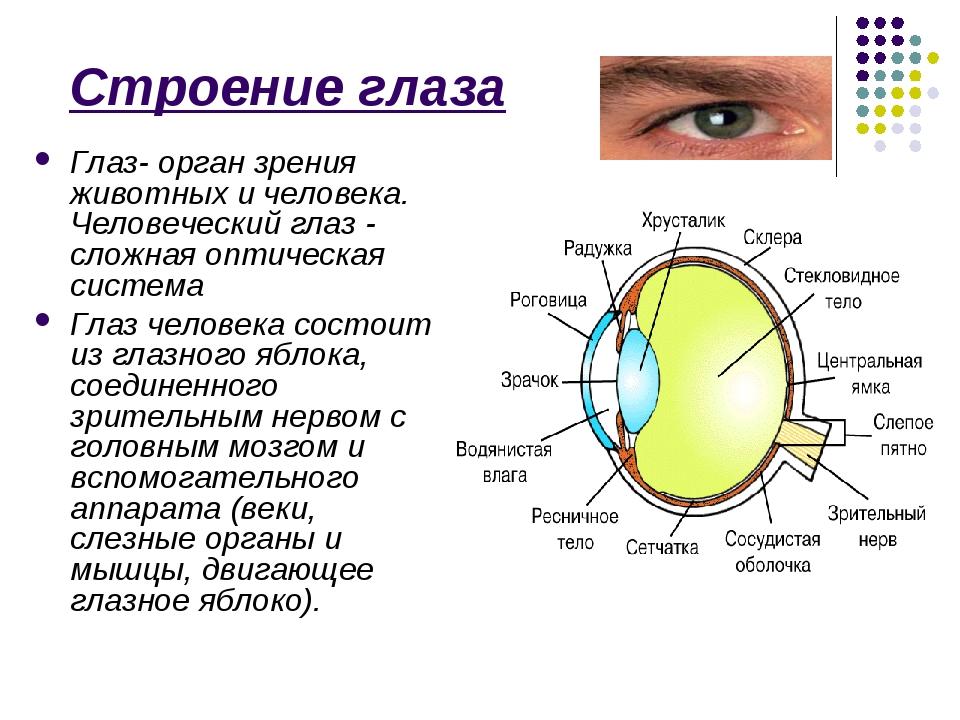 Что такое глаз? какие функции выполняет глаз в теле человека?