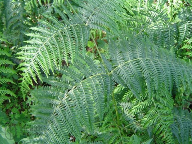 Где растёт и размножается растение папоротник орляк, его лечебные и питательные свойства