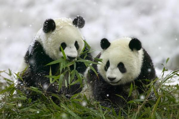 Почему панда – символ китая
