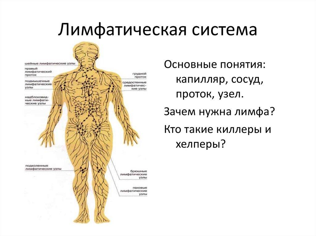 Что такое лимфатическая система и как она работает? | состав крови