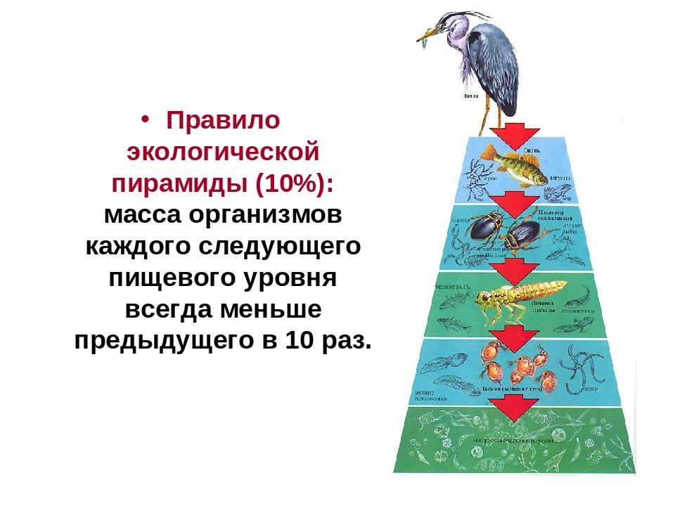 Пищевые цепи. экологическая пирамида