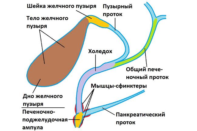 Общий желчный проток: анатомия, нормы и аномалии холедоха