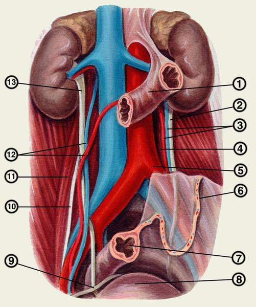 Физиология мочеточника