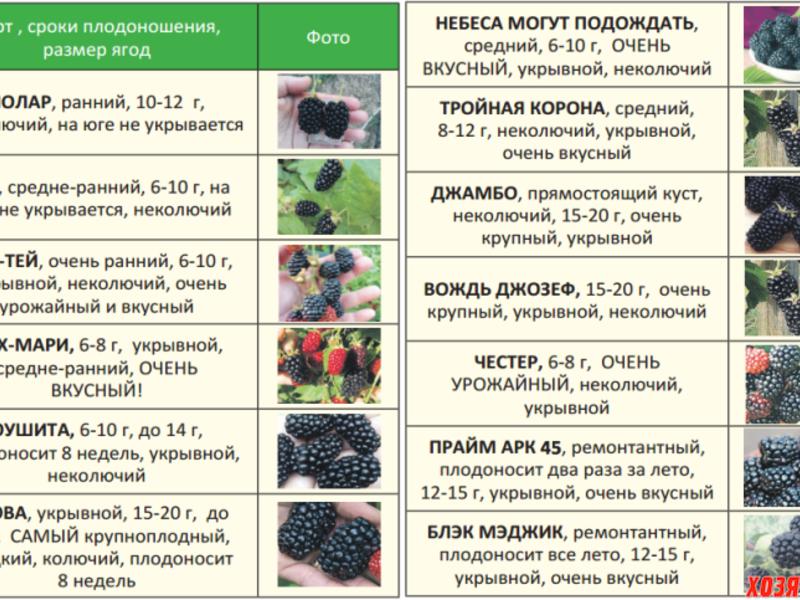 Ремонтантная малина: что это значит, размножение, описание сорта, посадка и уход