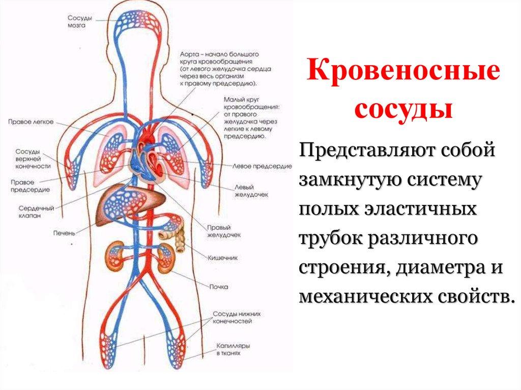 Значение слова «артерия»