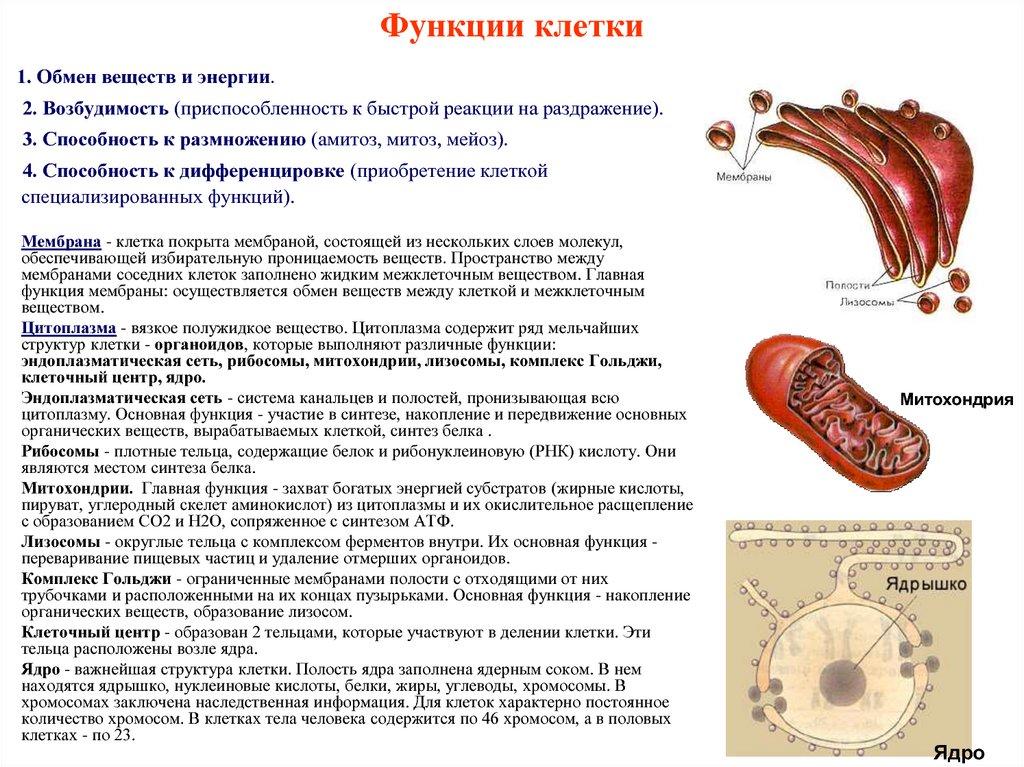 Функции и строение органоидов клетки