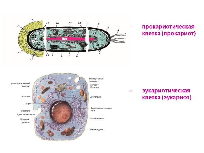 Прокариоты и эукариоты, значение понятий, сходства и различия, таблица сравнительной характеристики прокариотических и эукариотических клеткок, как размножаются прокариоты | tvercult.ru