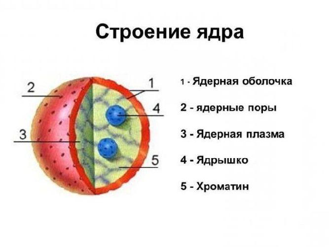 Что такое ядро это в биологии: свойства и функции