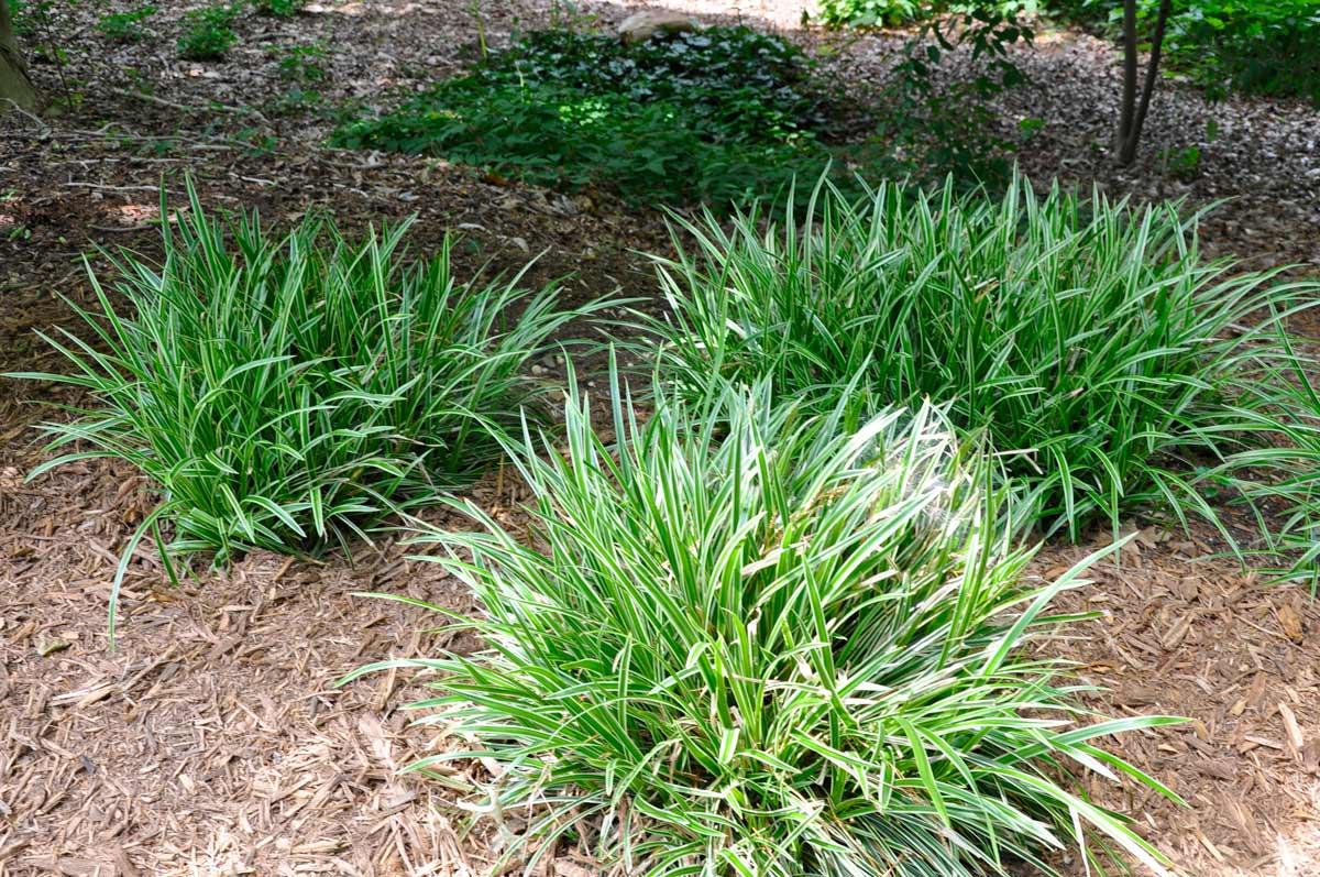 Осока - уход за садовым растением | подробное описание растения