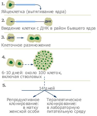 Клонирование (биология) — википедия. что такое клонирование (биология)