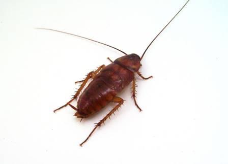 """Особенности строения таракана секрет живучести раскрыт - служба дезинфекции """"экоконтроль"""""""