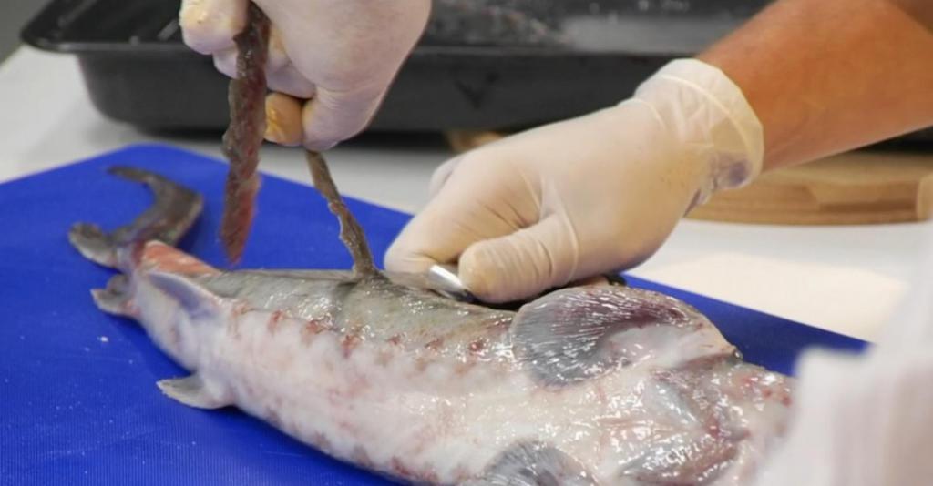 Что такое визига, как ее удалить из рыбы?