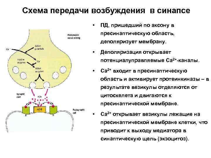 Ацетилхолин - действие на организм, функции, дефицит и избыток