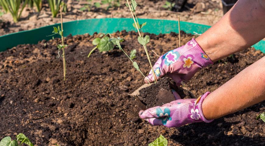 Горох посевной: описание, полезные свойства, выращивание