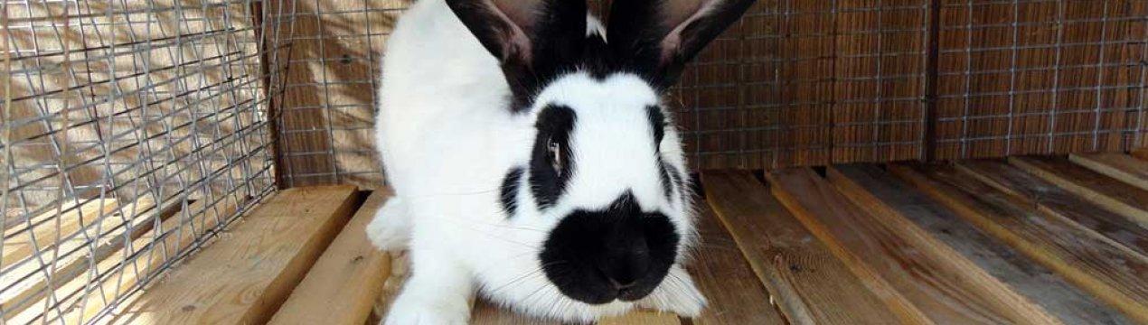 Домашний кролик: описание, характеристика, уход