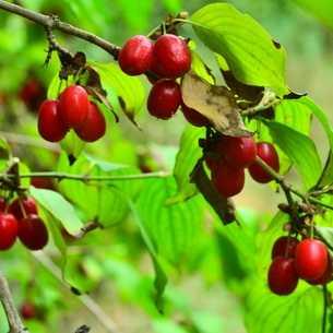 Чем полезен кизил – всё о свойствах летней ягоды - зранение, рецепты
