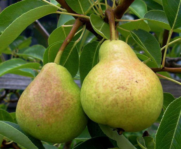 Груша. выращивание и уход. полезные свойства груши. заготовки из груши   дом, сад и огород