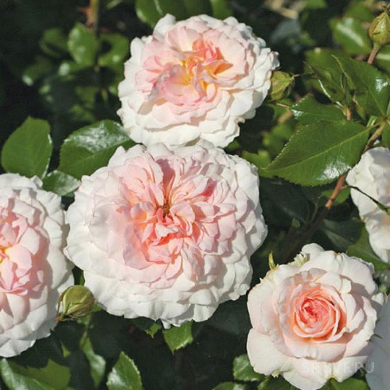 Розы шрабы что это такое