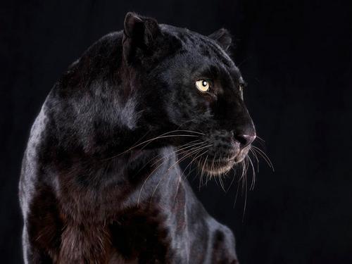 Чёрная пантера (marvel comics) — википедия. что такое чёрная пантера (marvel comics)