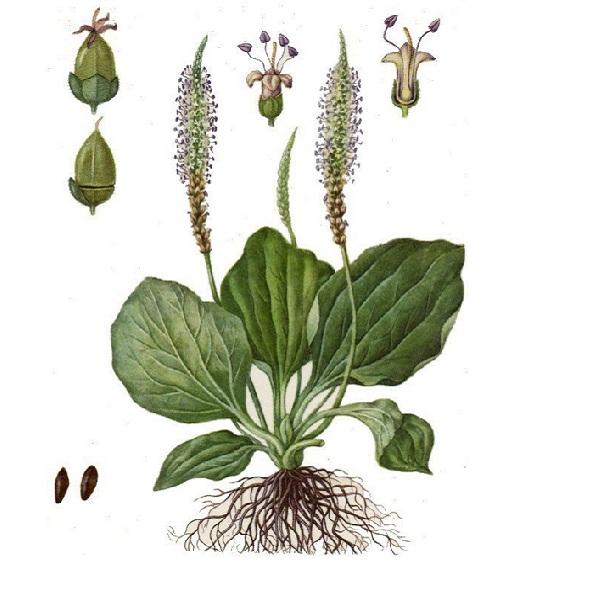 Подорожник - лечебные свойства травы