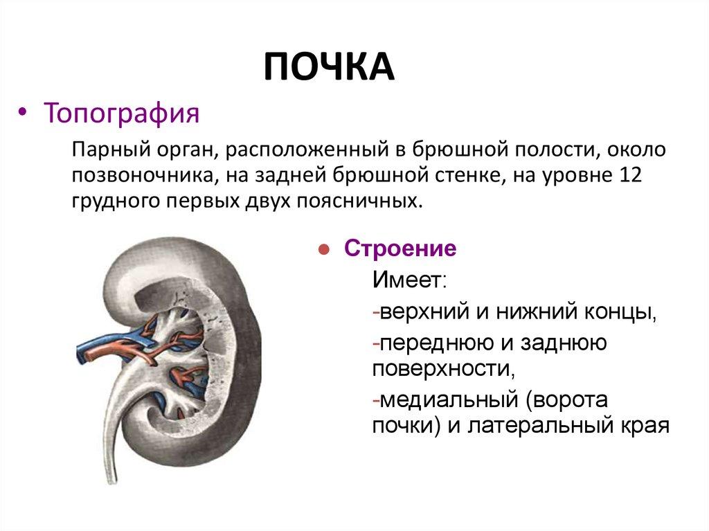 Почка (анатомия) — википедия с видео // wiki 2