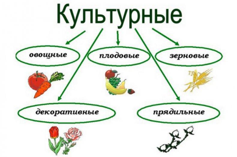 Дикорастущие и культурные растения, почему подразделяют (2 класс)