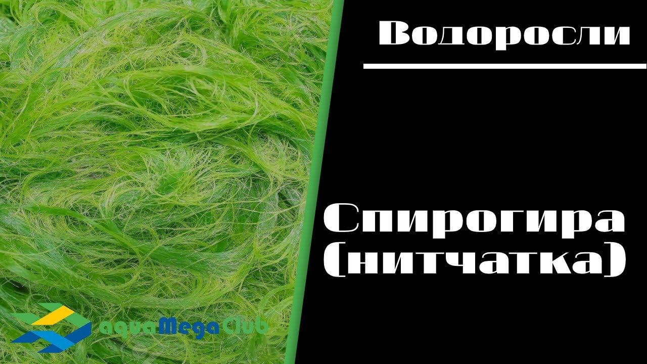Cпирогира,  и как  с ней бороться | domogorodnika.ru