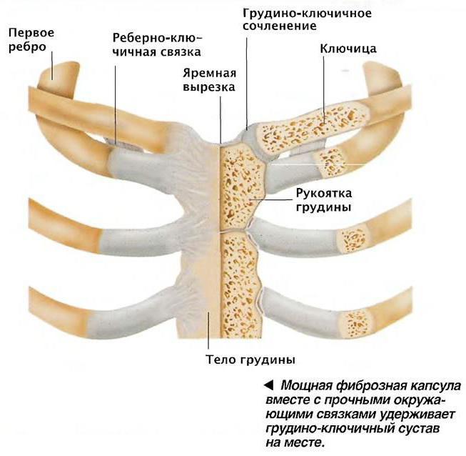 Ключица: где находится, анатомия, функции, строение
