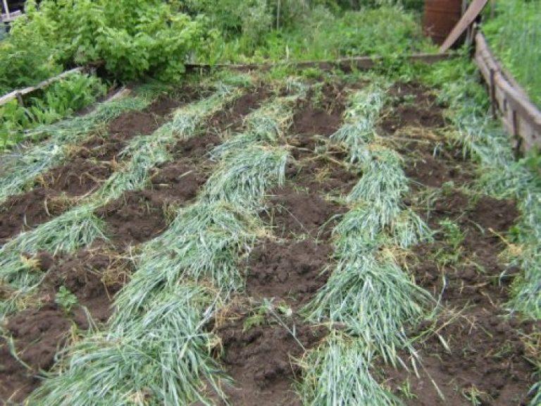 Что такое сидераты, и для чего они нужны на даче и огороде?
