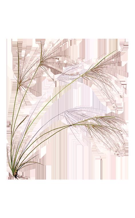 Растение ковыль степной: полезные свойства, посадка и уход