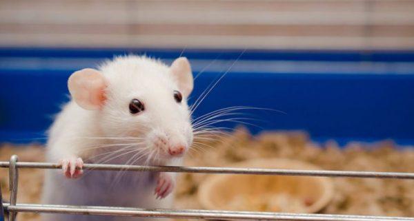 """Крысы: разновидности, образ жизни, места обитания в природе и городах. - служба дезинфекции """"экоконтроль"""""""