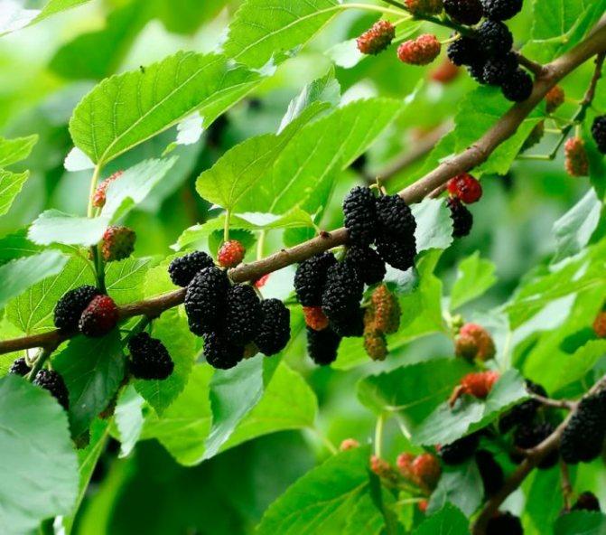 Шелковица — дерево, возвращающее молодость