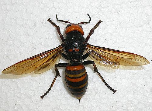 Шершень: как выглядит насекомое и его гнездо, описание, разновидности + фото крупным планом
