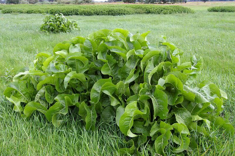 Корень хрена, как выглядит растение на фото, что это такое – трава, овощ или корнеплод, как и когда цветет хрен
