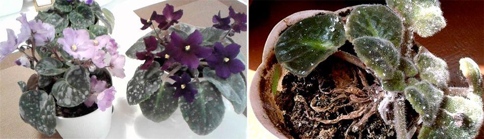 Мучнистая роса на растениях – как лечить?