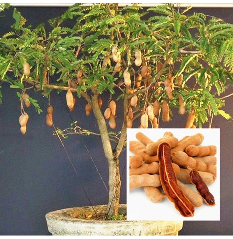 Что за растение тамаринд полезные свойства где применяют