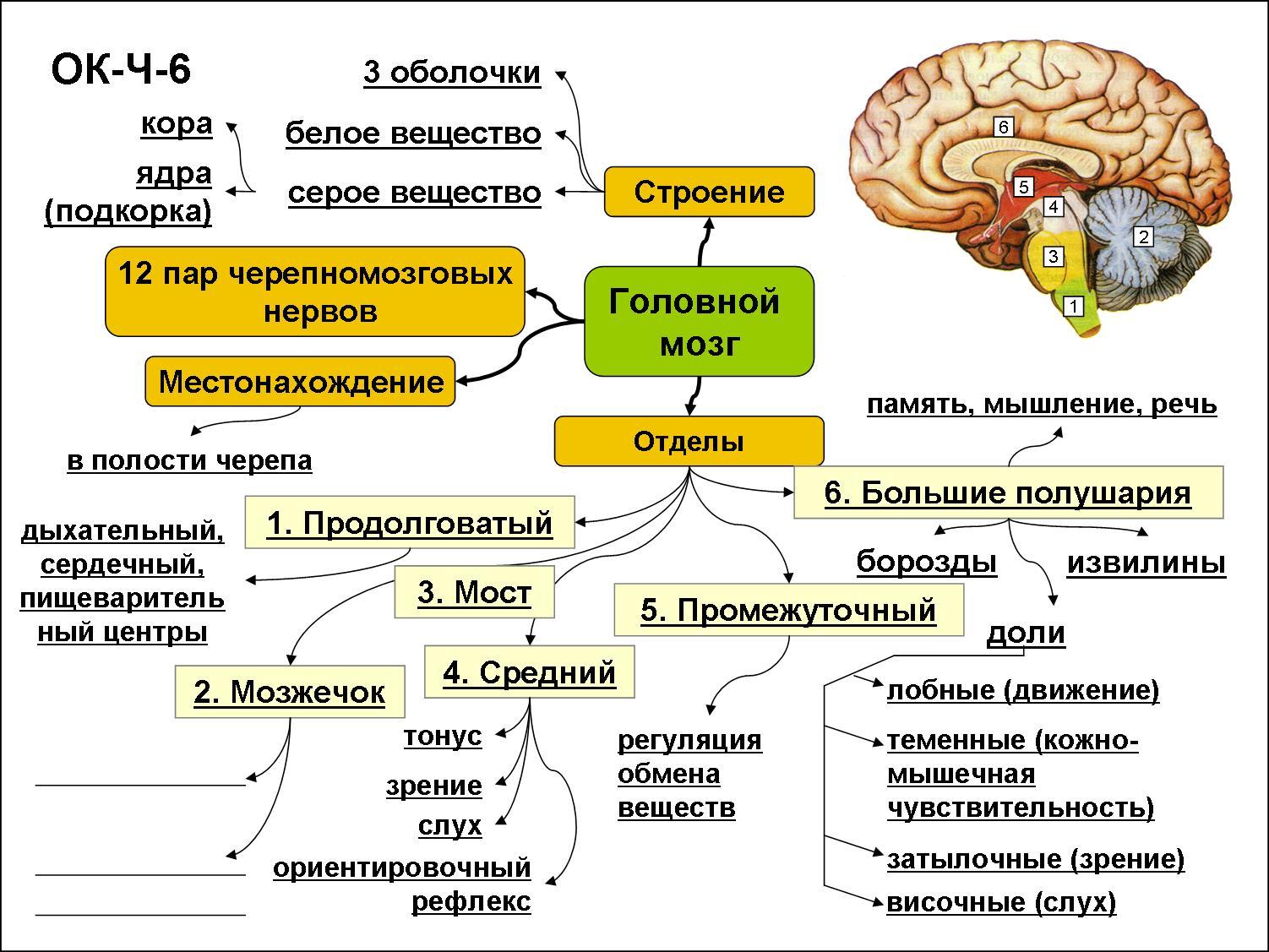 Головной мозг человека — википедия с видео // wiki 2