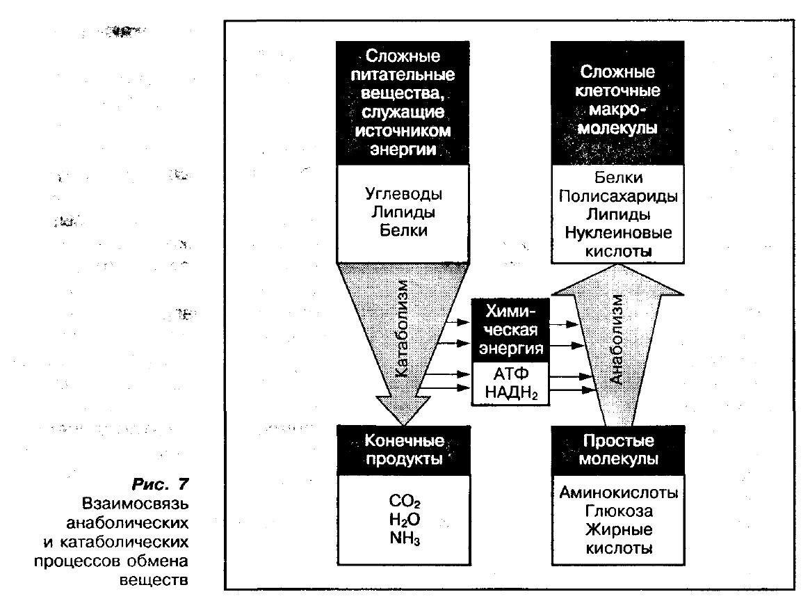 Катаболизм мышечной ткани (катаболизм мышц): как избежать