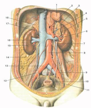 Что такое уретра: строение и функции. отличие мужской и женской уретры