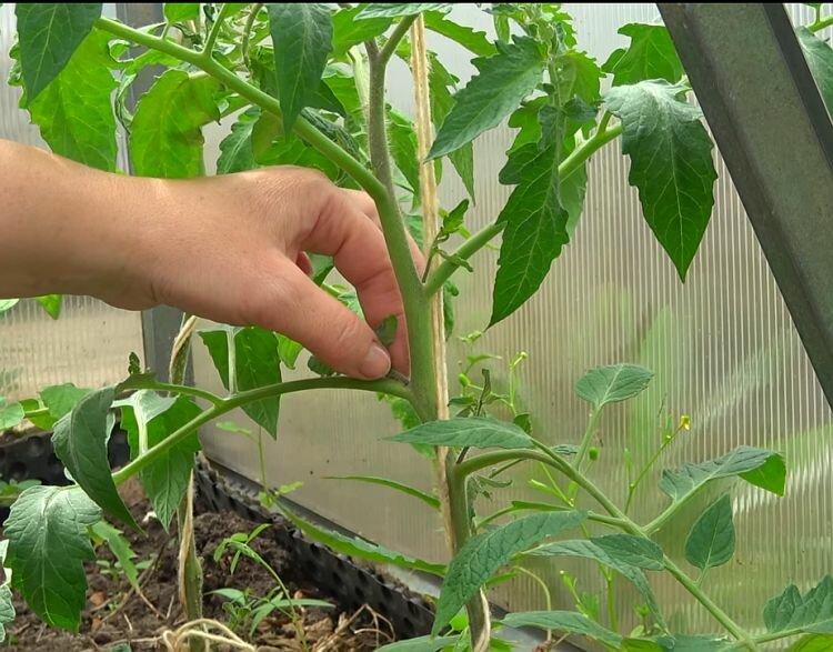 Пасынкуют ли низкорослые помидоры: нужно ли это делать и как формировать кусты без пасынкования, сорта, не требующие пасынкования, для теплиц и открытого грунта