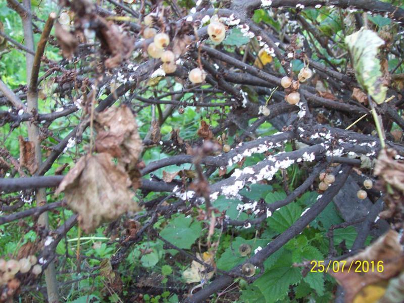 Белый налет на листьях смородины – чем опрыскивать и что делать при появлении мучнистой росы