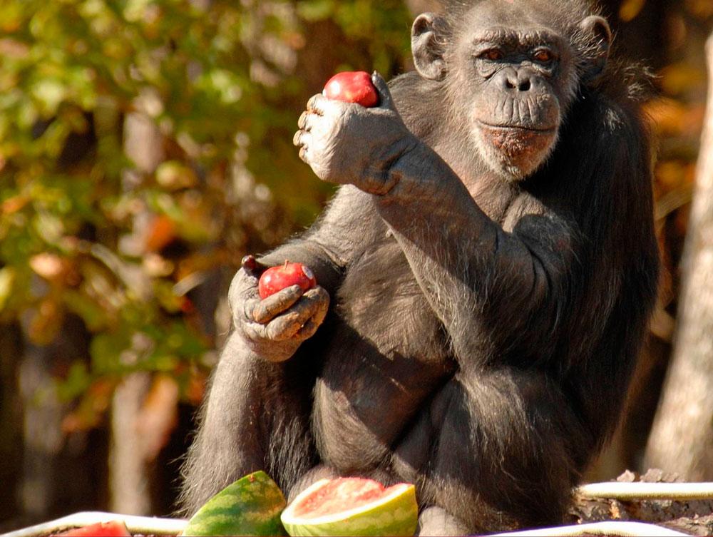 Обезьяна - описание животного, повадки и особенности строения приматов (155 фото)